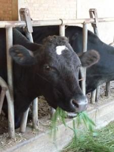 Ambalavao La vache